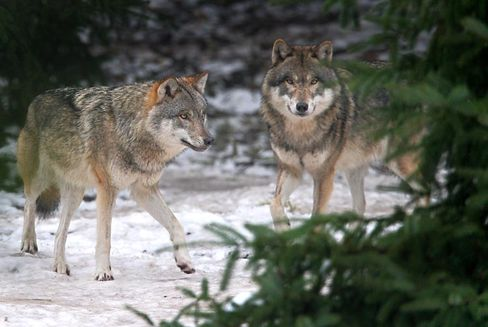 Wolves are moving closer to human settlements in eastern Germany.