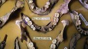 Was 3500 Jahre alter Zahnstein über unsere Vorfahren verrät
