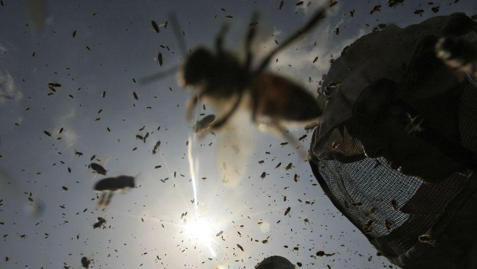 Bienenschwarm (Archivbild): Zahl der Bienenvölker seit 2007 stark dezimiert