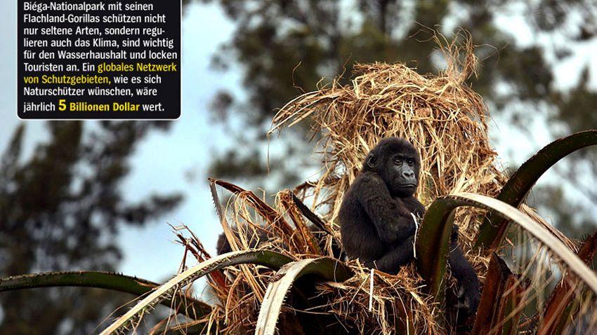 Elternlos: Ein einsames Gorilla-Waisenkind auf der Spitze einer Palme