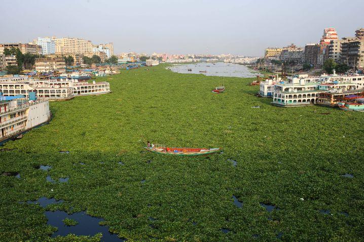 Teppiche aus grünen Pflanzen: Wasserhyazinthen auf einem Fluss in Bangladesch