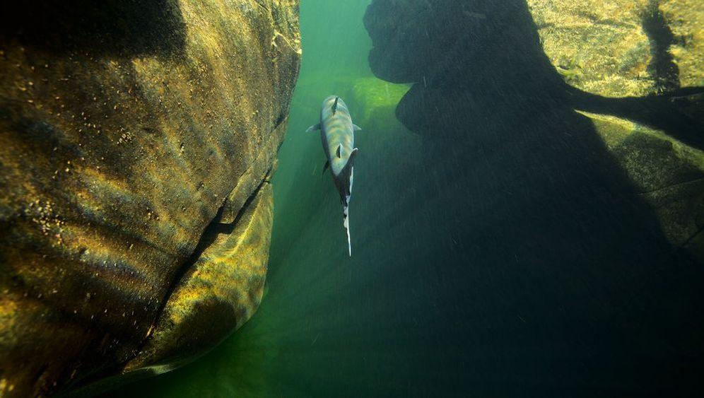 Lachse: Niedergang des Fischkönigs