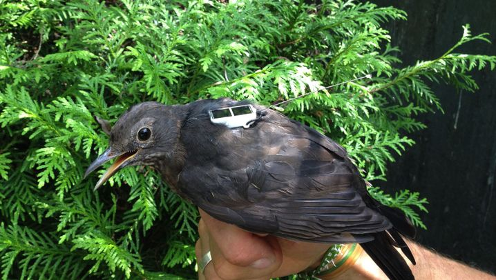 Photo Gallery: How to Track a Blackbird