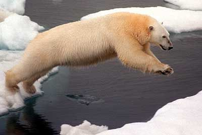 Arctic polar bears have to jumpsfrom ice floes to hunt.