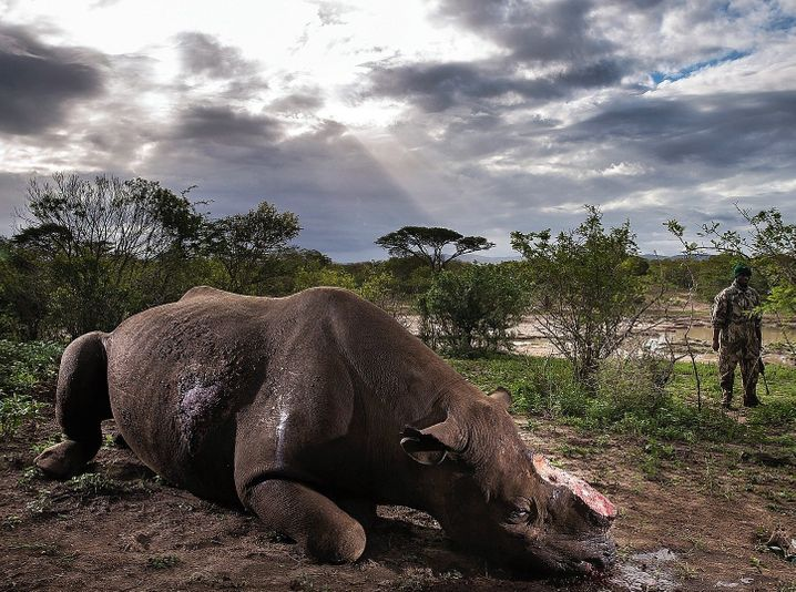 "A rhino killed by poachers: ""It's a dirty business involving a lot of money."""