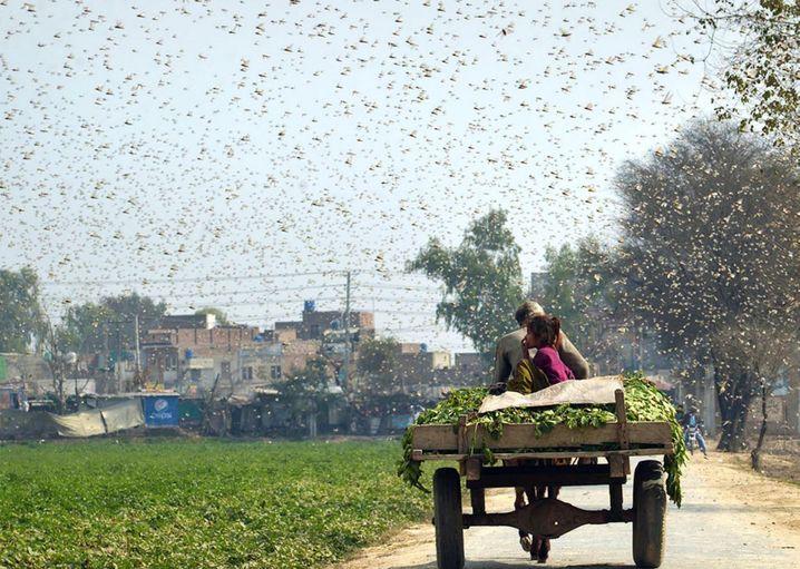 Heuschreckenschwarm nahe der Stadt Okara in Pakistan: Weizenernte bedroht