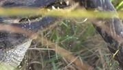 Alligator verschlingt riesigen Python