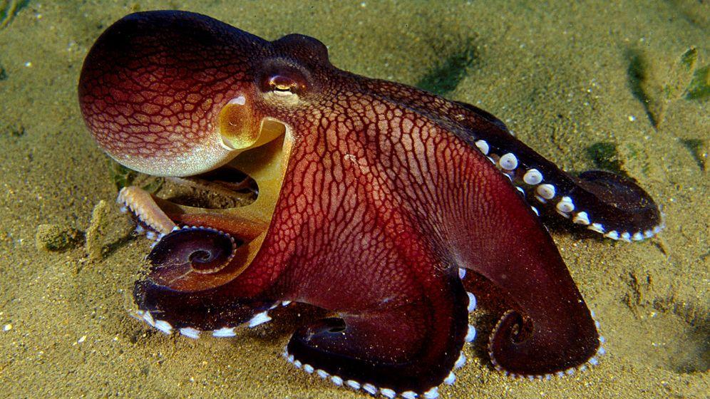 Meerestiere: Lärm beeinträchtigt Tintenfische