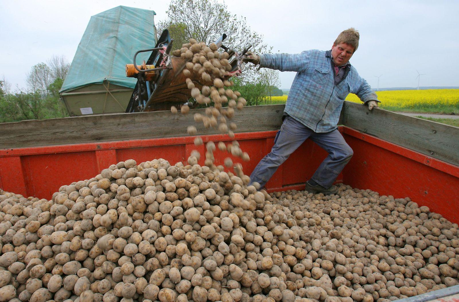 Kartoffel Amflora