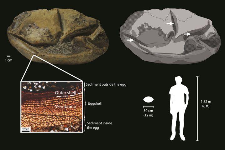 Details des Fossils aus der Antarktis und ein Größenvergleich
