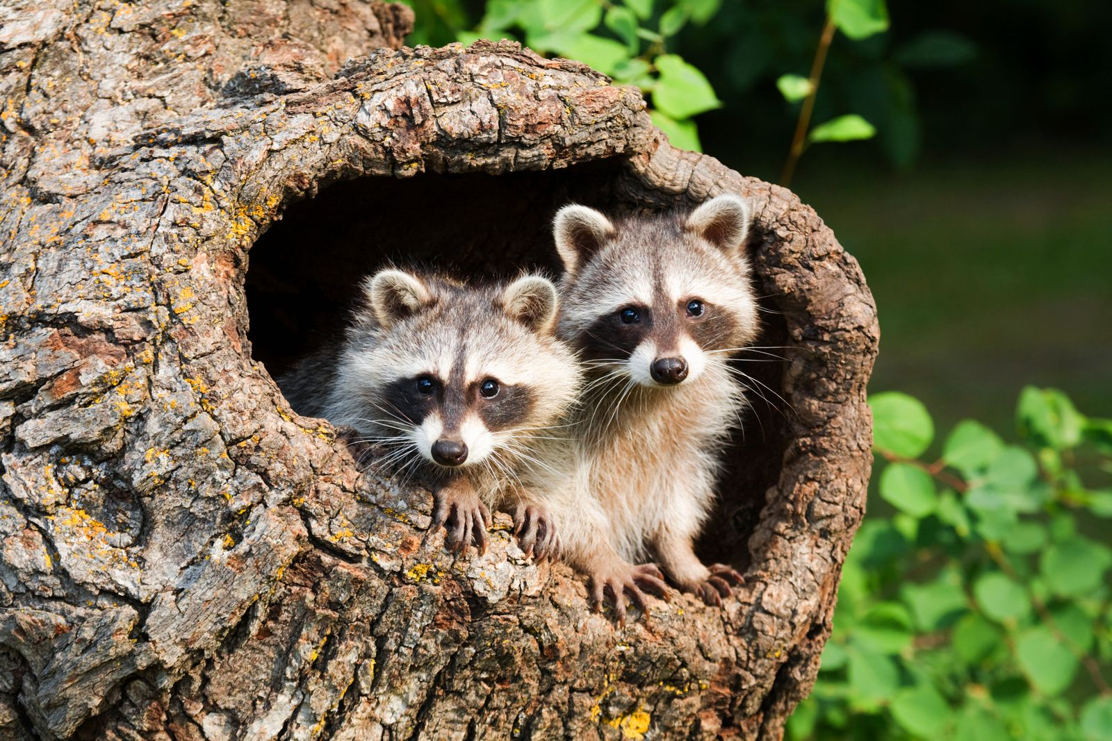 Two Raccoons in a tree hollow