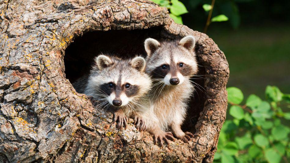 Zwei Jugendliche verwandeln sich in Brussigs Roman in Waschbären