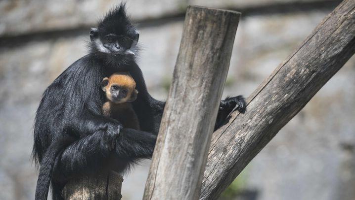 Affen-Nachwuchs im Zoo Besançon: Große Augen, roter Schopf