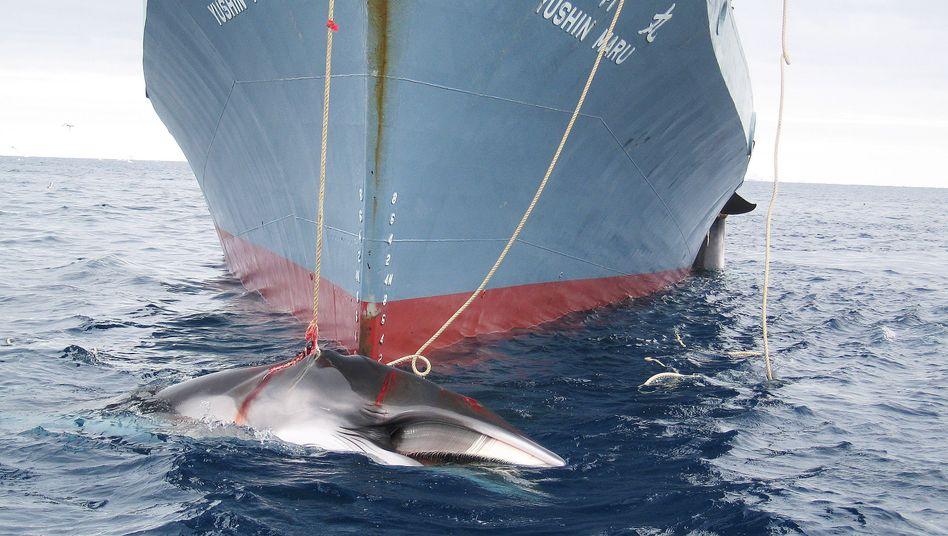 Kommerziell oder zu wissenschaftlichen Zwecken? Trotz aller Kritik machen japanische Schiffe Jagd auf Wale