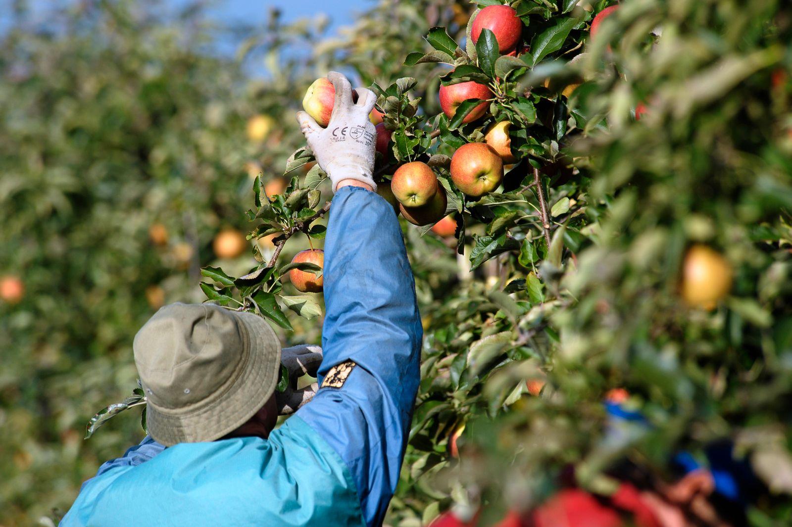 Frühlings-Frost verringert Apfelernte