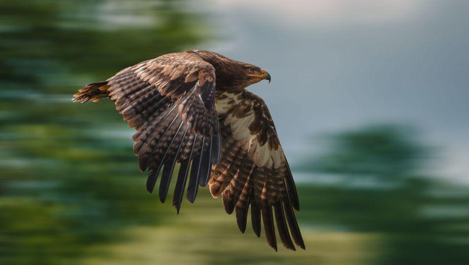 Adler Große Größen