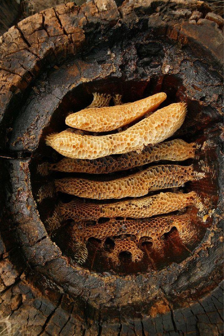 Waben der Honigbiene: Die frühen Bauern nutzten die Tiere bereits gezielt
