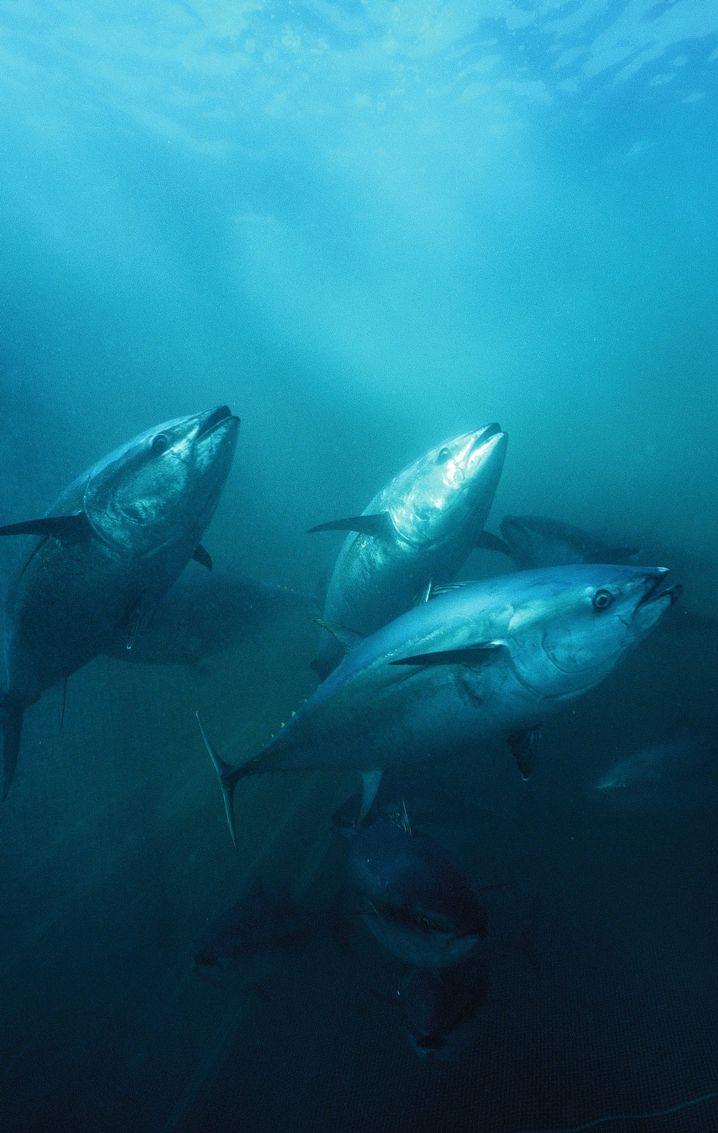 Thunfische bei der Wanderung
