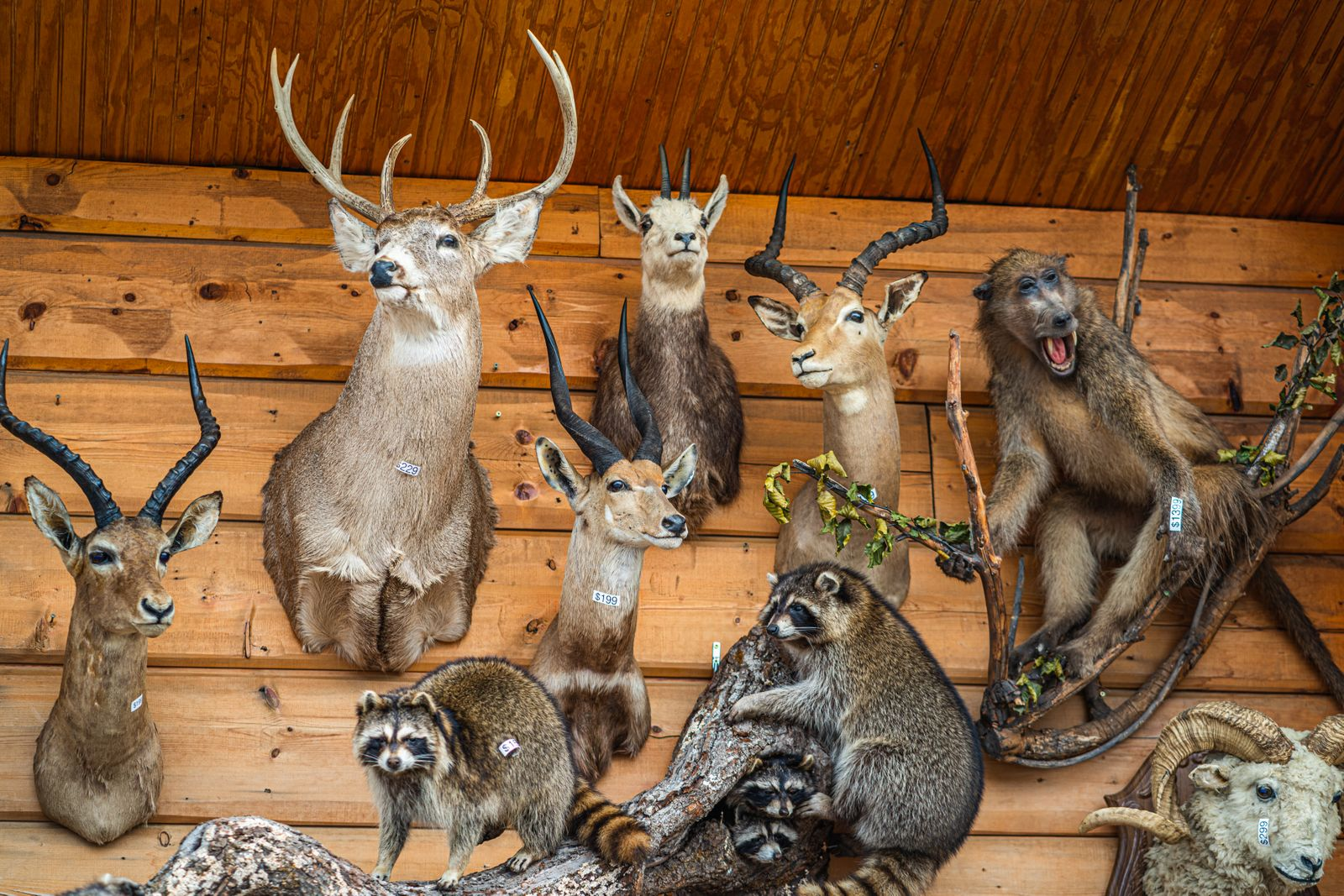 Various animals stuffed and mounted to wall for sale