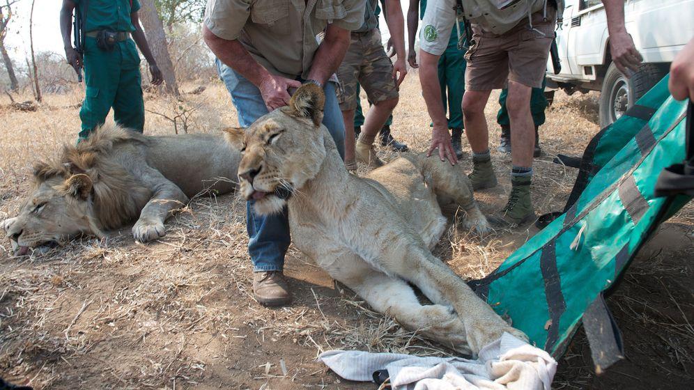 Löwen-Auswilderung in Malawi: Brüllende Neuigkeiten