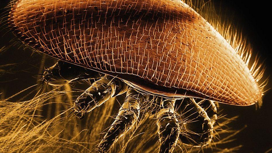 Varroa-Milbe auf Biene (200-fach vergrößert): Jedes Volk ist befallen