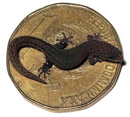 Rekord-Reptil: Sphaerodactylus ariasae