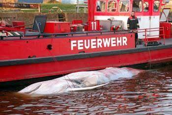 Ein Löschboot der Feuerwehr schleppte den Wal-Kadaver in den Hamburger Hansa-Hafen