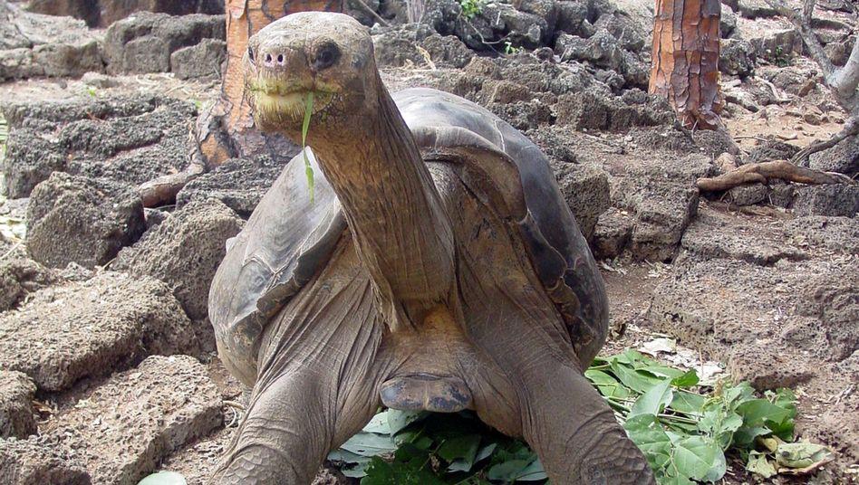 Riesenschildkröte George: Der letzte seiner Art
