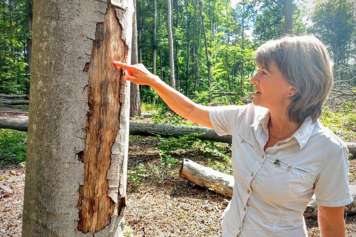 Schädlingsforscherin Möller an einer Buche, die von Borkenkäfern befallen ist