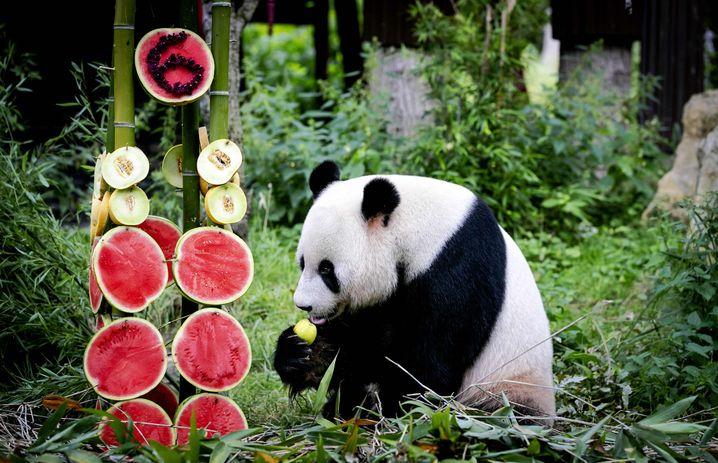 Melonen-Torte zur Feier des Tages: Panda-Männchen Xing Ya an seinem sechsten Geburtstag im August 2019
