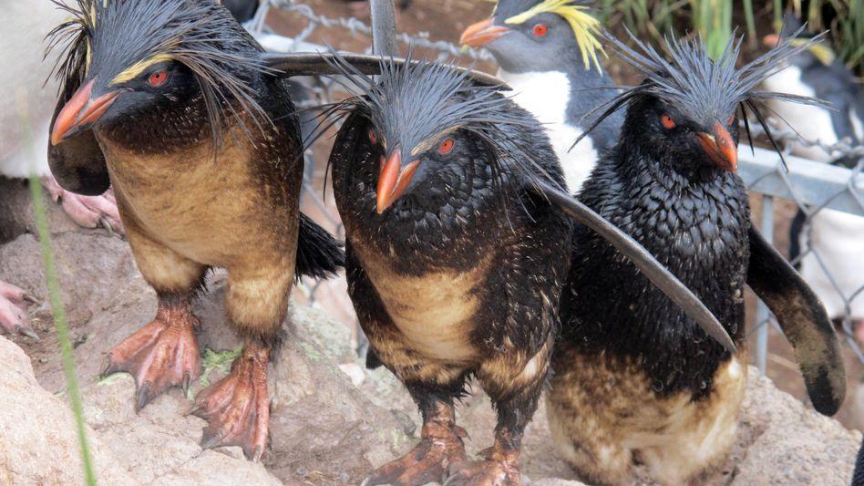 Ölverschmierte Felsenpinguine: Bedrohte Spezies