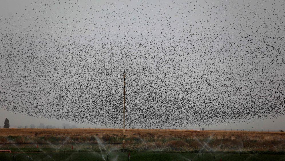 Schwarmverhalten von Vögeln: Der trojanische Star