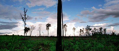 This used to be a dense forest in Indonesia. But the trees have made way for a palm oil plantation to produce biofuels.