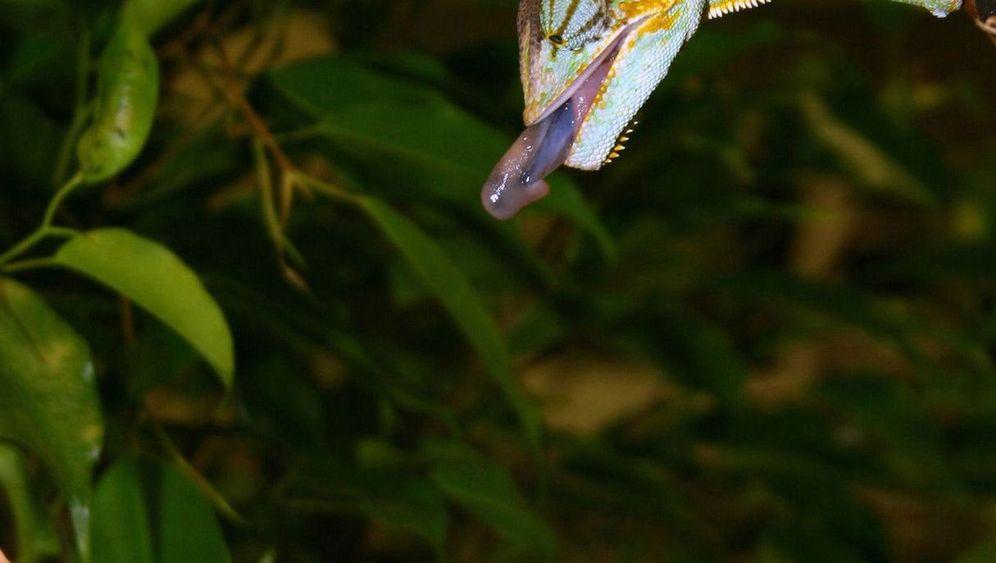 Chamäleon: Zungenkünstler auf der Jagd