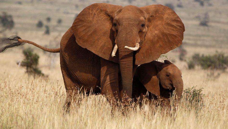 Elefant mit Nachwuchs (Aufnahme aus Kenia): Immer mehr getötete Tiere