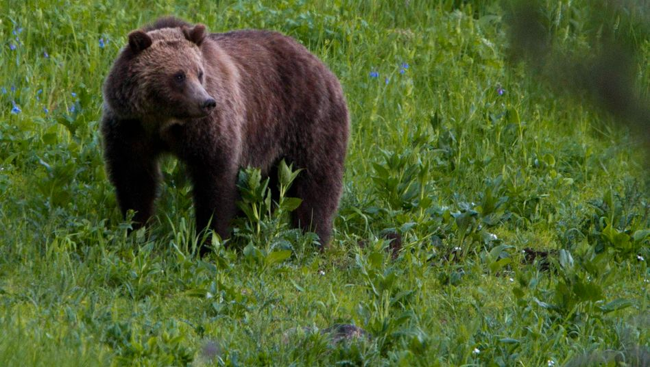 Grizzly im Yellowstone-Park (Symbolbild)