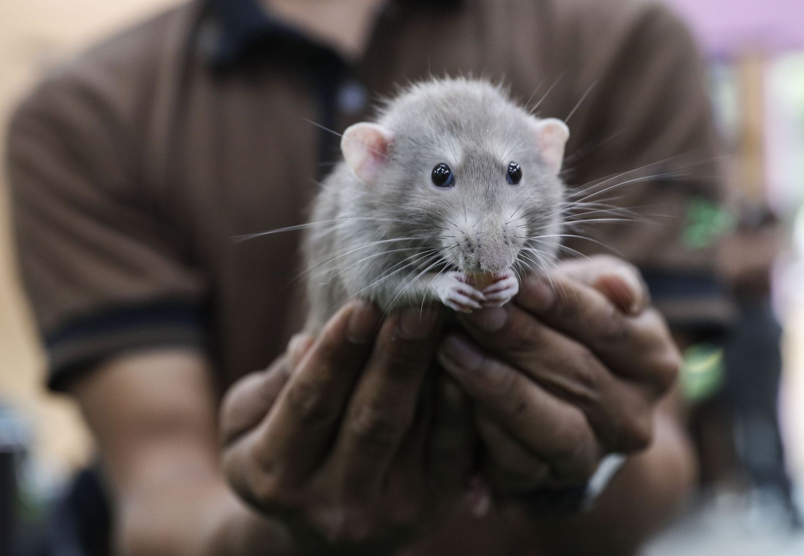 Lunar New Year of the Rat in Singapore - 21 Jan 2020