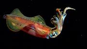 Was hinter der Intelligenz der Tintenfische steckt