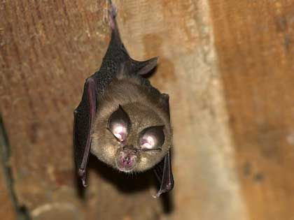 The lesser horseshoe bat (Rhinolophus hipposideros), which is 10 cm long and has a 25 cm wingspan, is in danger of extinction in Germany. Experts put its number at 650.