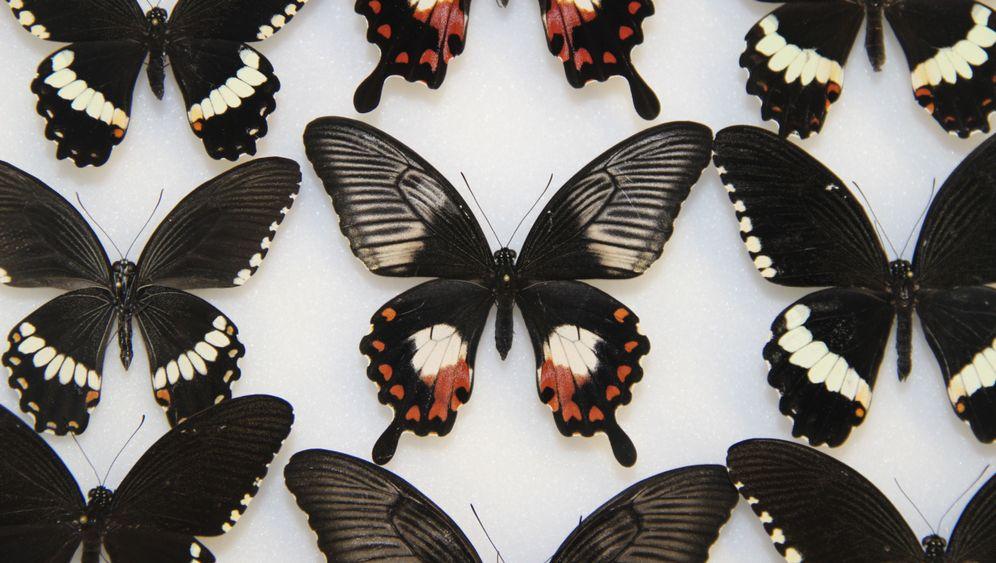 Karneval der Schmetterlinge: Ein Gen für viele Farben