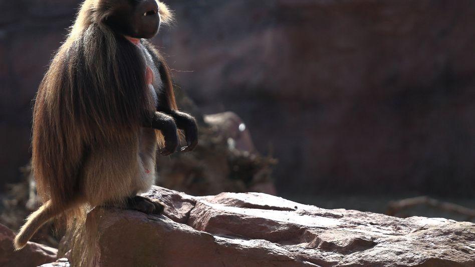 Pavian in einem Zoo (Archivbild)