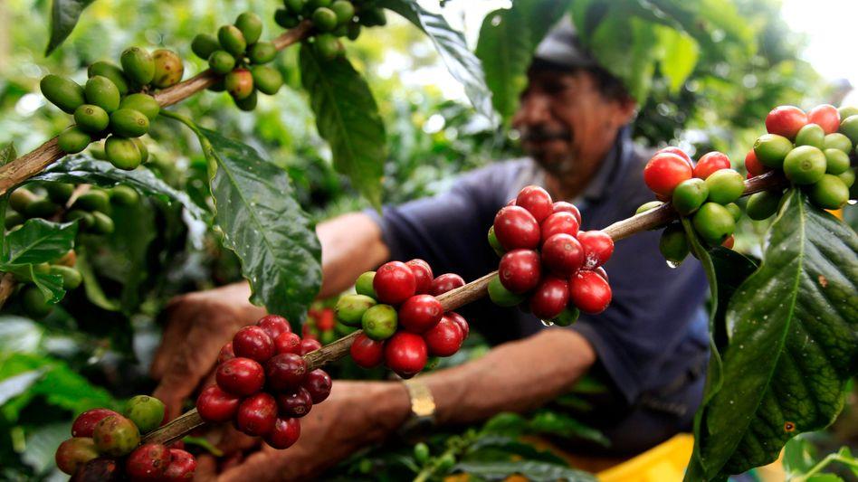 Kaffeepflanze auf einer Plantage: Kommerzielle Sorten sind genetisch verarmt
