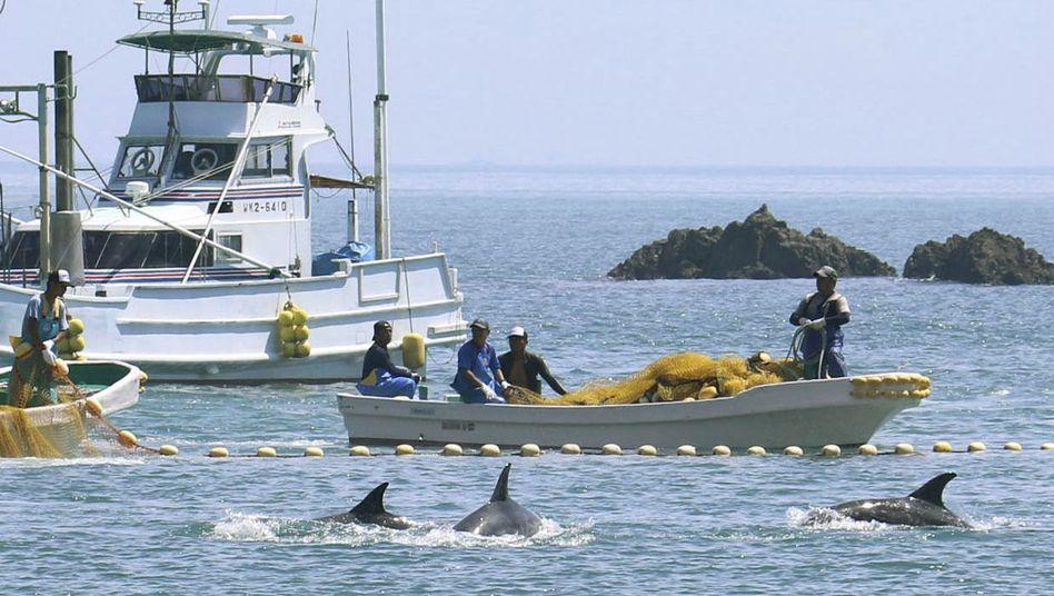 Fischer treiben Meeressäuger in eine Bucht vor Taiji: Harpune rein, Korken rauf