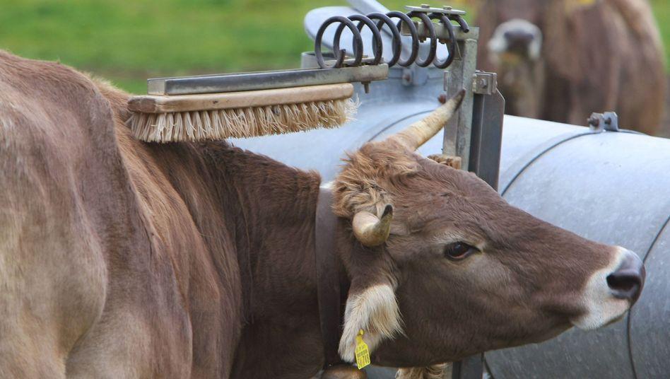 Kuh läuft auf einer Weide unter einer Konstruktion mit zwei Besen, die an einem Wassertank angebracht is