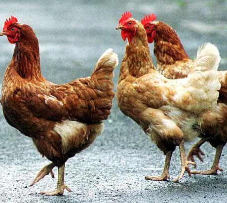 Wann ist ein Huhn ein Huhn - und wann eine Huhn?