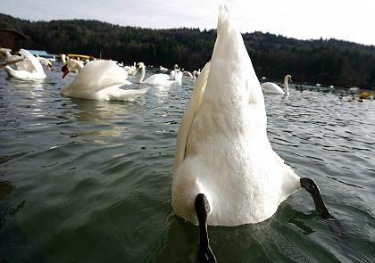 Swan are tough birds.