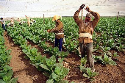 Anbau: Für Tabakpflanzen errichten Arbeiter Hängungen
