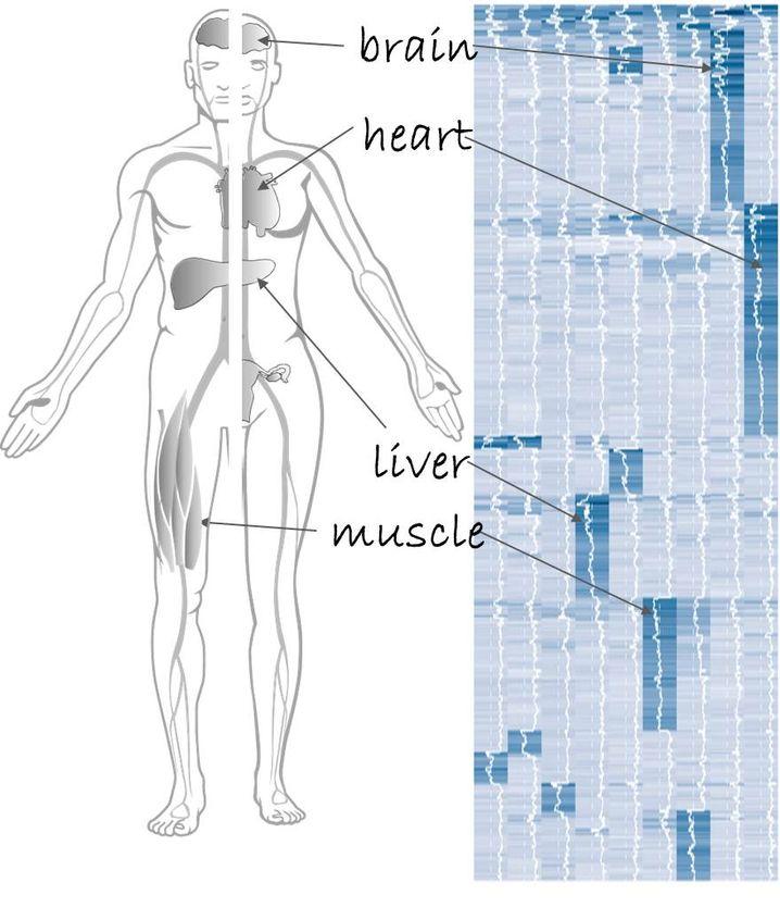 Proteine in Gehirn, Herz, Leber und Muskel sortiert im Massenspektrometer.