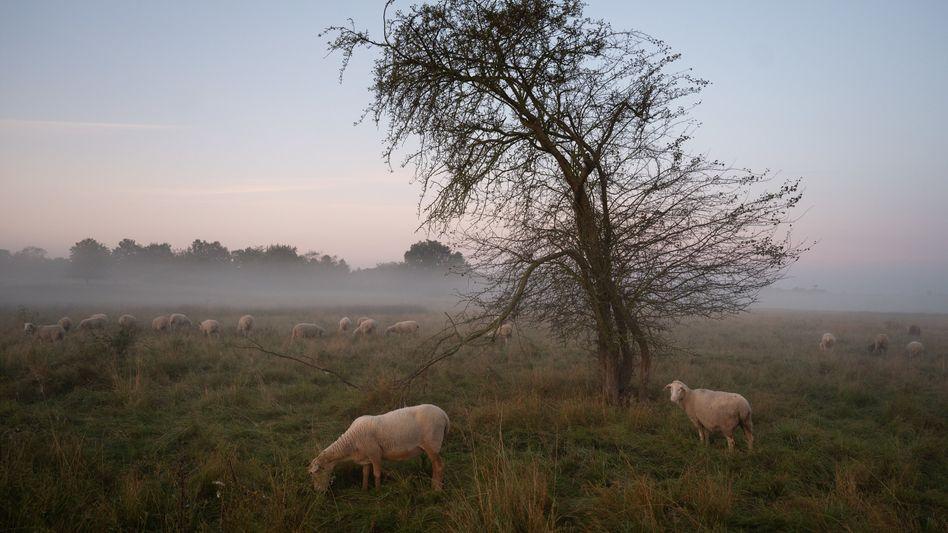 Schafe im Nebel (im hessischen Münzenberg): Kalt wird's und nass