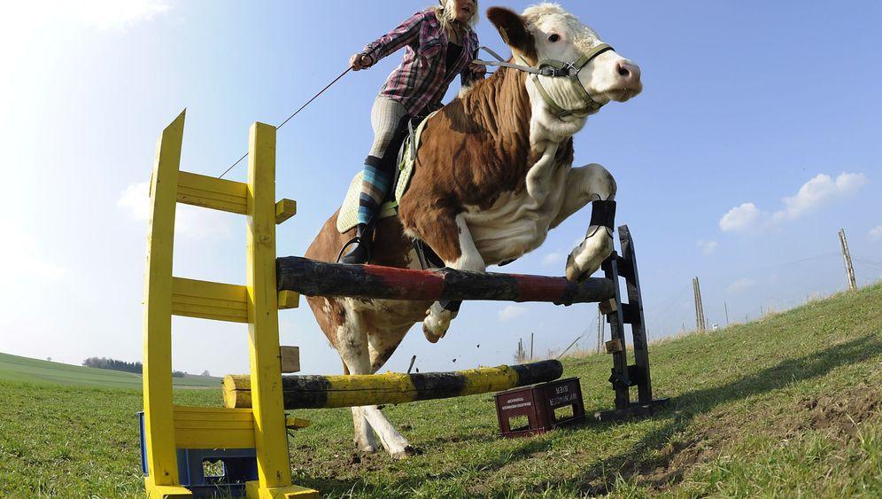 """Dressierte Kuh: Das bessere Pferd sagt """"Muh""""!"""